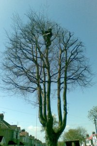 Pinnacle Tree Services working on a beech tree in Filton, Bristol