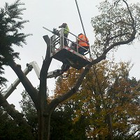 Oak pollard using cherry picker