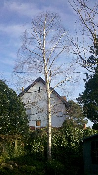 Silver Birch reduction, after