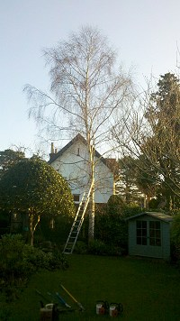 Silver Birch reduction, before